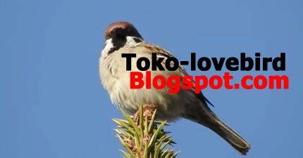 Jual Tempat Pakan Burung Liar crecetan panjang suara burung gereja tarung gacor