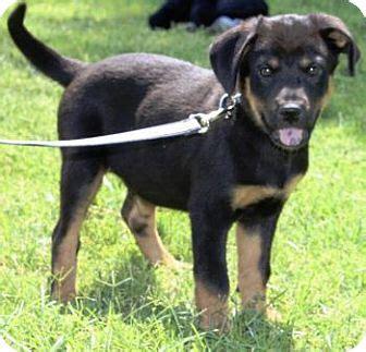 arizona rottweiler rescue spike adopted puppy gilbert az rottweiler australian shepherd mix