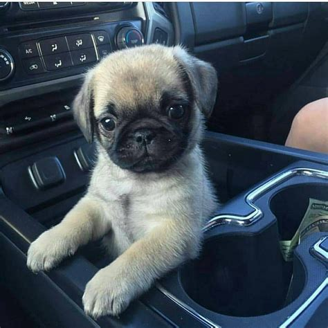 best names for a pug the top 10 best pug names click to see more ideas pug names