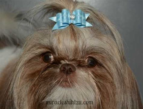 shih tzu bows shih tzu grooming tips shih tzu magazine september 2016
