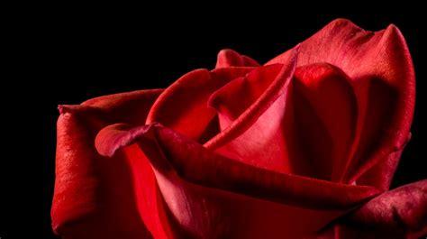 immagine fiore rosa foto gratis rosa rossa rosa fiore rosa fiore