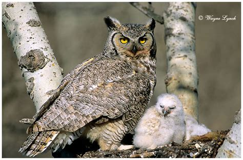 great horned owl life cycle learning about life cycles