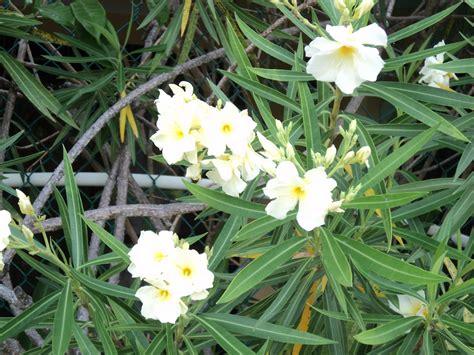 oleander plant belize the plants oleander