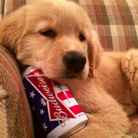budweiser puppy budweiser puppy pictures photos and images for and