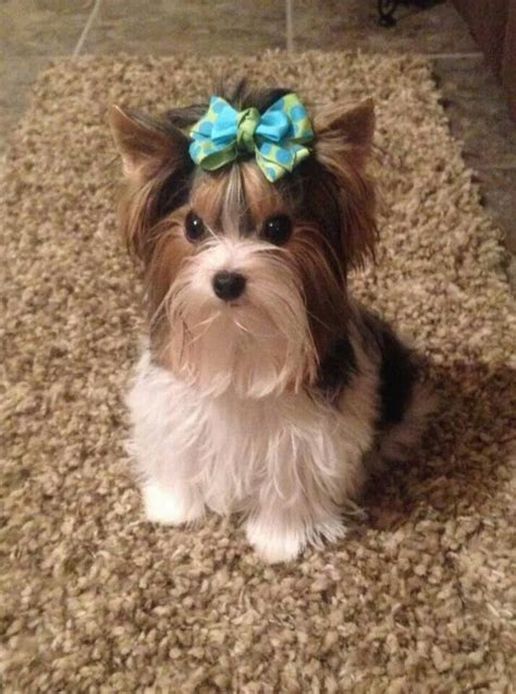 parti yorkie grown 162 best yorkies images on dogs fluffy pets and puppys