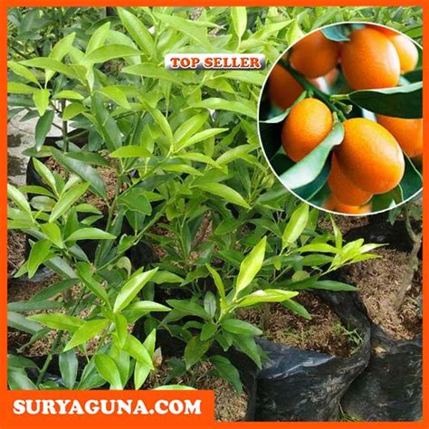 Bibit Jeruk Nagami jual bibit jeruk nagami cocok untuk tabulot suryaguna