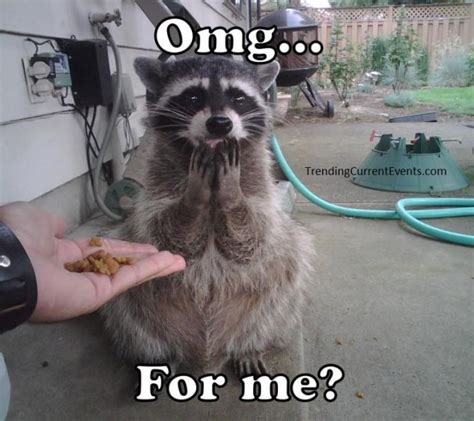 Raccoon Memes - funny raccoon picture omg for me meme