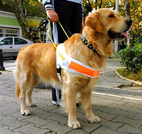 golden retriever puppy guide how are guide dogs trained with pictures