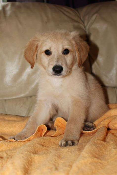 golden retriever cross puppies for sale stunning golden retriever cross puppies matlock derbyshire pets4homes