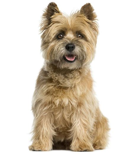 mix breeds list and pictures list of common characteristics shown by all terrier mix breeds