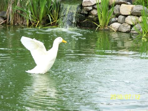 backyard duck ponds triyae com backyard chickens duck pond various design
