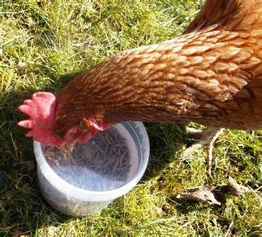 what to feed backyard chickens 1000 ideas about what to feed chickens on