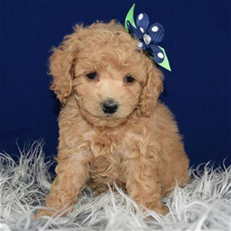 cockapoo puppies for sale in md cockapoo puppy for sale miley puppies for sale in pa md wv