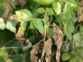 plant disease prevention in the vegetable garden veggie
