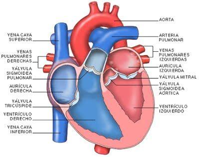el corazn de una 1520265506 sistema circulatorio conectandose con ciencias