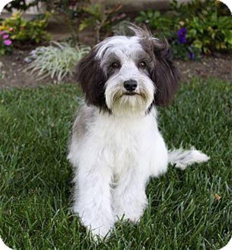 havanese terrier mix tibetan terrier havanese mix breeds picture
