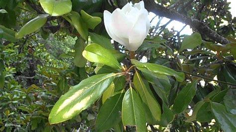 imagenes de magnolias blancas magnolio magnolia grandiflora www riomoros com youtube