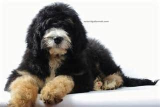 mini bernedoodle puppies for sale 71 best images about bernedoodle on poodles poodle mix and bernese