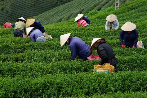 Teh Sariwangi Di Indo 7 komoditas potensial hasil perkebunan di indonesia