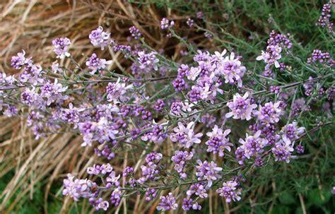 purple flowering shrubs australia no fuss no tantrums