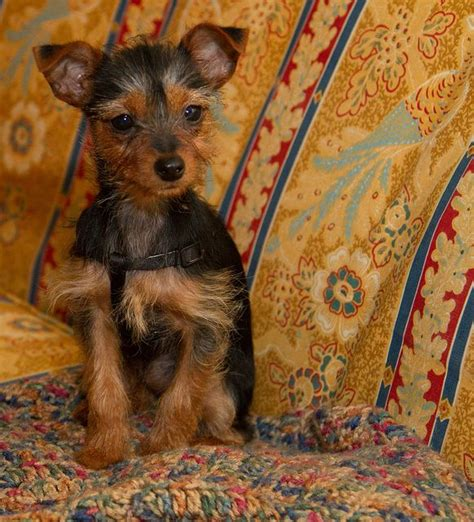 min pin yorkie mix min pin yorkie mix