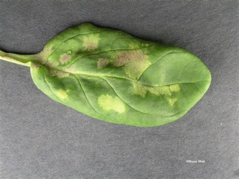 house plant disease identification spinach downy mildew signs symptoms umaine