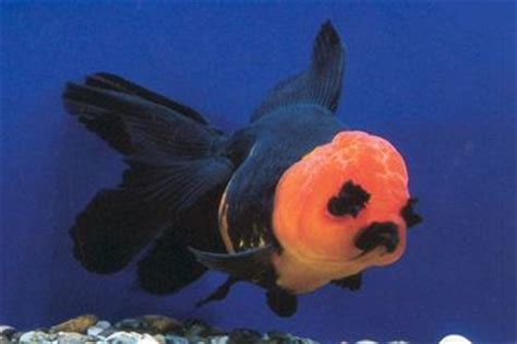 Oranda Rw Black Ranchu black oranda with eyebrows next time i keep fancy goldfish i m going to do a 90 gallon