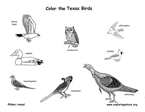 texas bird coloring page texas birds coloring page