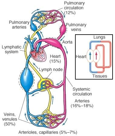 pattern of heart blood flow is a blood vessel defined more by its content oxygenated