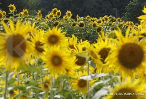 Lu Hias Bunga peluang merekah dari budidaya bunga matahari 1