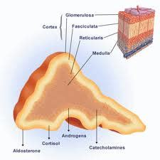 the outer section of the adrenal gland is the adrenal gland its layers and hormones hormones