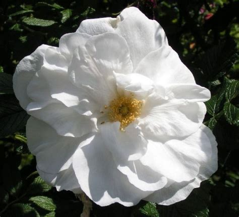 rosa blanca rose blanche blanc double de coubert white rose kelways