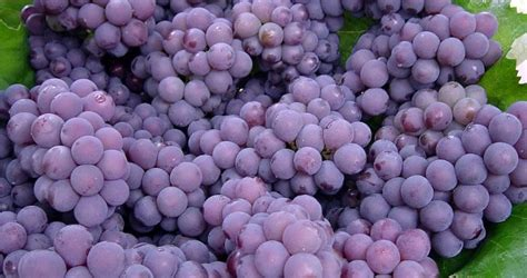 imagenes de uvas verdes y moradas uva morada