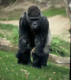 gorilla western gorilla animal wildlife
