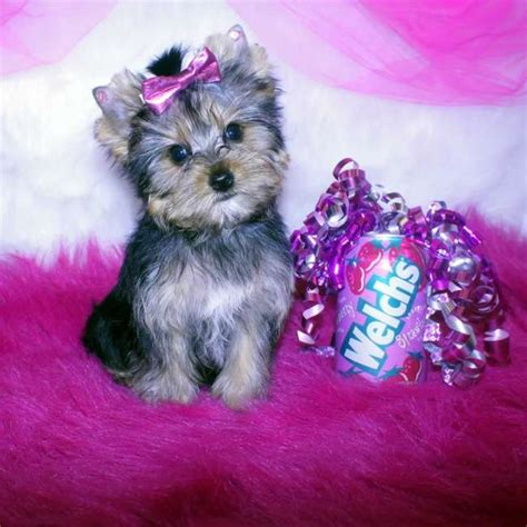 yorkie small small yorkie puppy for sale breeds picture