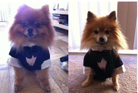 tuxedo pomeranian about us yogi s pom central