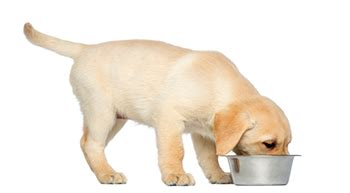 pedigree food for labrador puppies warning claims pedigree food killed dogs