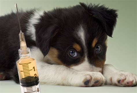 puppy vaccinations puppy to understanding puppy vaccinations health news