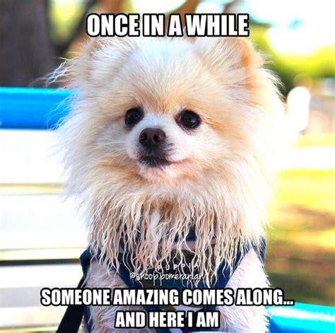 Pomeranian Meme - 63 best pomeranian memes images on pinterest pomeranian