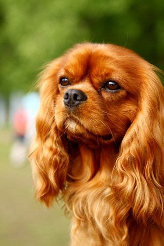 spaniel puppies rescue best 25 cavalier king charles ideas on