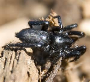 Fast Black 50 K fast black ground spider zelotes bugguide net