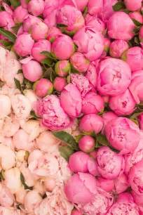 the pink peonies best 25 pink peonies ideas on pinterest