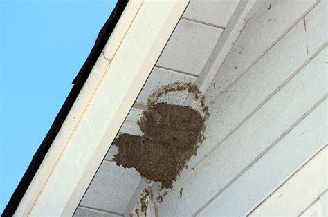 swallows build nests  homes mira mesa living