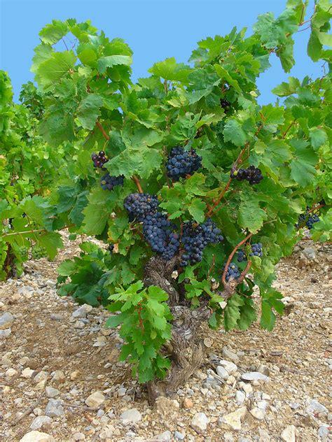 imagenes de uvas silvestres archivo vitis vinifera 001 jpg wikipedia la
