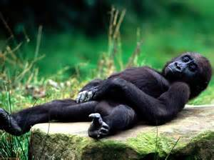 gorillas pictures for gorilla 171 world