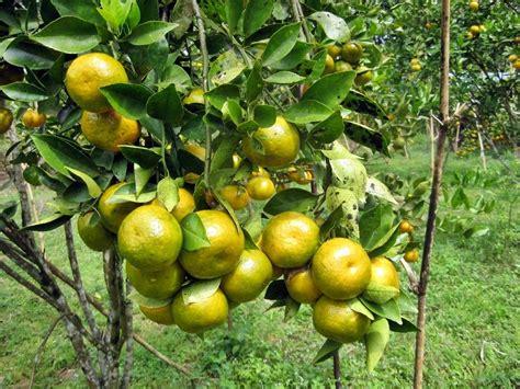 Pupuk Perangsang Bunga Jambu Air bibit tanaman jeruk primont frimong jual tanaman buah