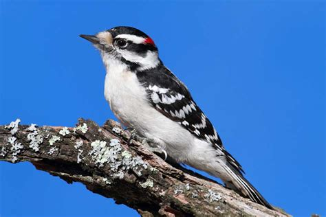 how woodpeckers can damage siding and or dryvit and what