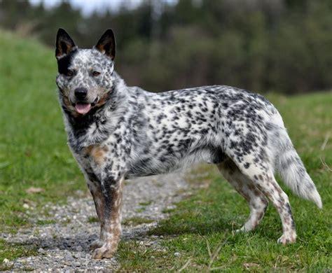 Australian Cattle Also Search For 17 Best Ideas About Australian Cattle On Blue Heeler Cattle Dogs