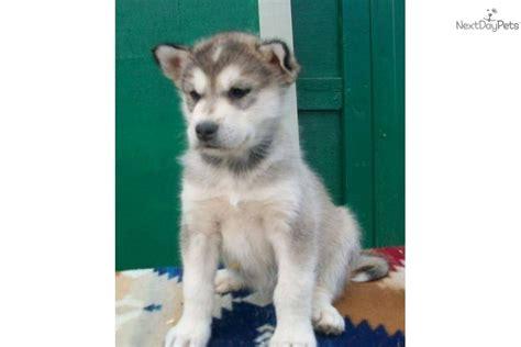 alaskan malamute puppies for sale in michigan meet wolf a alaskan malamute puppy for sale for 850 alaskan malamute pups