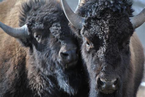 Yellowstone Brigade the buffalo brigade protecting yellowstone s noble beasts